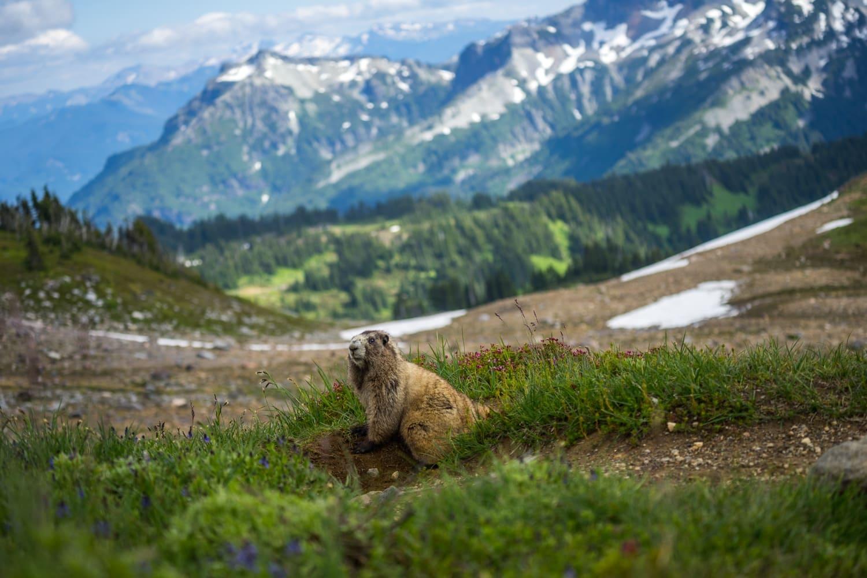 Mount Rainier Marmot Elopement Packages